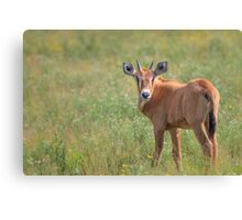Oryx Baby Browns Canvas Print