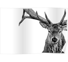 Red Deer - Head On - On White Poster