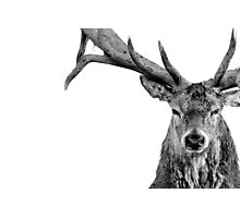 Red Deer - Head On - On White Photographic Print