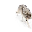 Circling - Timber Wolf by Jim Cumming