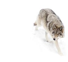 Circling - Timber Wolf by Jim Cumming