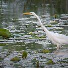 great egret fishing by AlRobinson