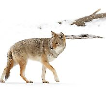 On the hunt - Coyote by Jim Cumming
