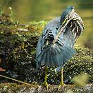 green heron preening by AlRobinson