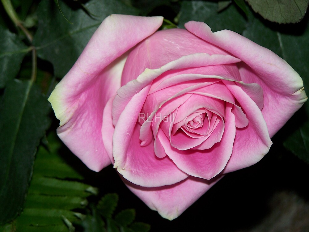 Rose Pink by RLHall
