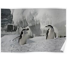 Penguin in pairs Poster