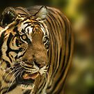 Bengal Tiger - Light & Shade by George Wheelhouse