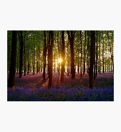 Bluebell Wood At Sunset (Centre Sun) Photographic Print