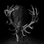 Deer on Black by George Wheelhouse