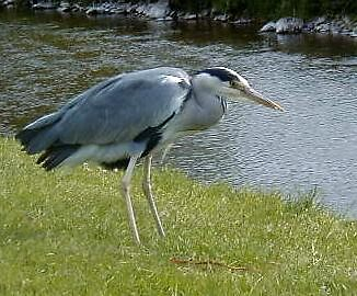 18 - HERON AT LANGHOLM - 2004 by BLYTHPHOTO
