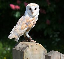 Barn owl on a fence post by Dave  Knowles