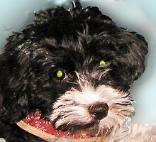 Rescue a Dog Today -  Havanese by patsarts