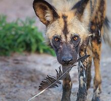 Wild Dog's Prized Feather by Owed to Nature