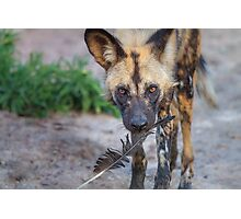 Wild Dog's Prized Feather Photographic Print