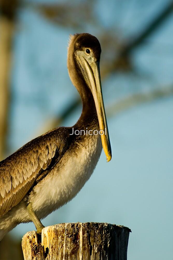 Morning Pelican by Jonicool