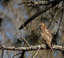 Hawk in Pine Tree by Bonnie T.  Barry