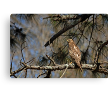 Hawk in Pine Tree Canvas Print