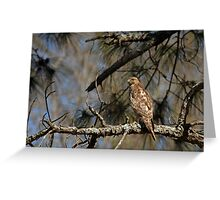 Hawk in Pine Tree Greeting Card