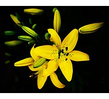 Yellow Lily Blooming, Lilie lilium Photographic Print
