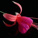 Fuchsia XV by Tom Newman
