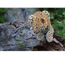 Leopard Cub Hideaway Photographic Print