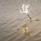 Snowy Egret by Colleen Farrell