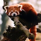 Lazy Panda by theBFG