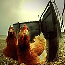 nobody here but us chickens ... by Dan Shalloe