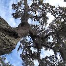 Live Oak Tree Trunk Rising Into the Sky by Nadia Korths