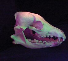 Coyote Skull by mscristal