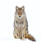 Snow Nose - Coyote by Jim Cumming