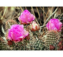 Prickly Pear Cactus Blooms Photographic Print