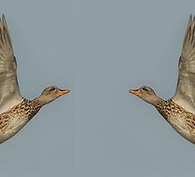 Mallard In Flight II by Alec Owen-Evans
