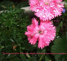Dianthus in the Rain by gramabarb