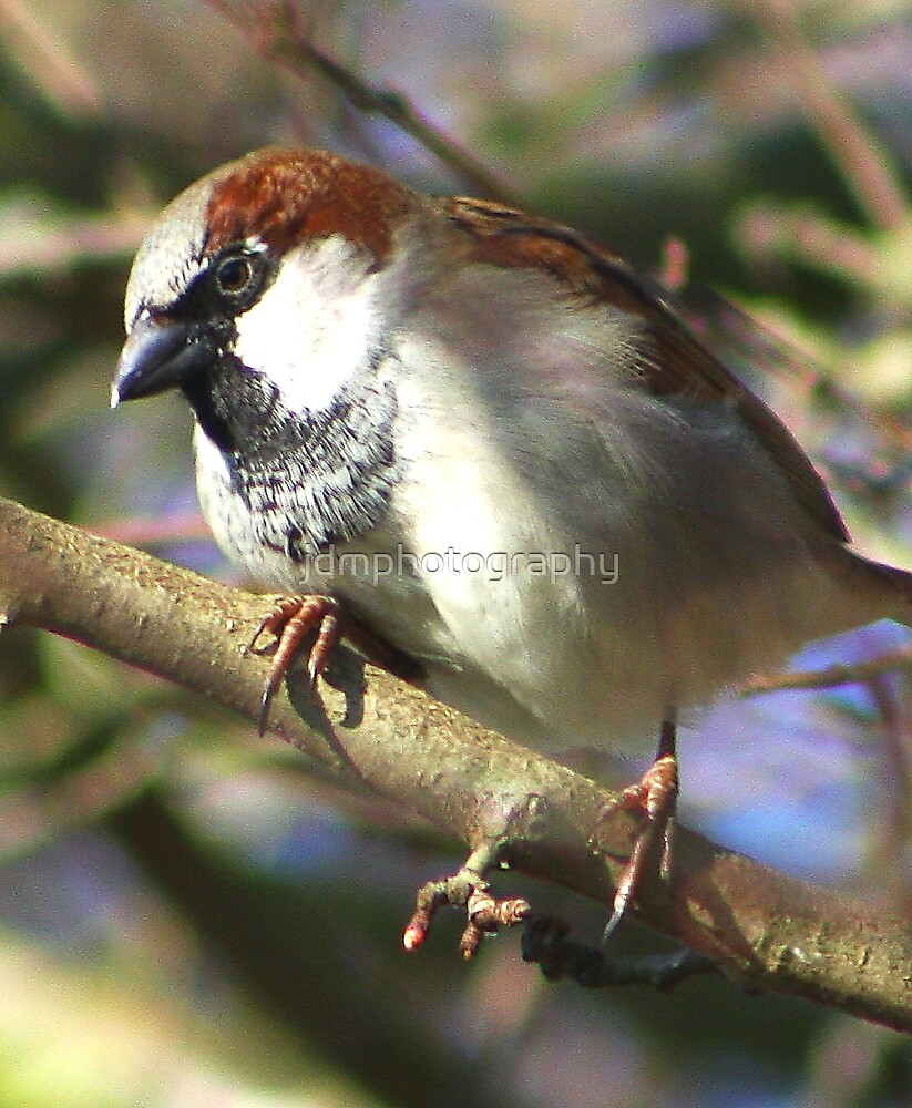 Sparrow by jdmphotography