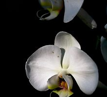 White orchids by Eti Reid