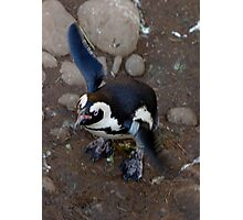 Penguin Flap Photographic Print