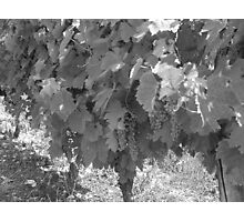 Grapevines Photographic Print
