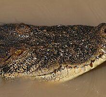 Crocodile by Caroline Stills