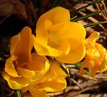 golden promise of spring by RDRAKEPERKINSON