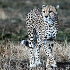 Cheetah on the prowl by Tom Marantette