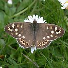 Speckled wood butterfly by cappa