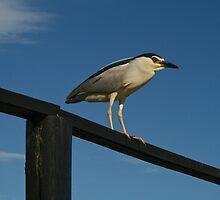 Green-backed Heron (Butorides striatus) by JustineEB