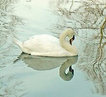 A Mute Swan On York's River Ouse by AARDVARK