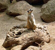 Photograph : Meercat ... on alert! by Roz McQuillan