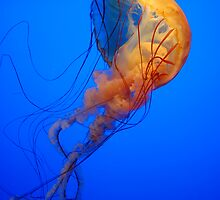 Jelly Fish by Kevin D. Raney