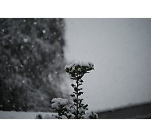 Snow Holly Photographic Print