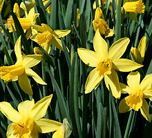 Yellow Daffodils by Kimberly Johnson