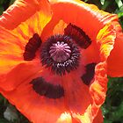 Poppy by Bombshell