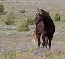 Steens Mountain Stallion by NorthernDesert